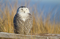 Immature Snowy Owl (Bubo scandiacus). roossting on a log. Grays Harbor County, Washington. December.