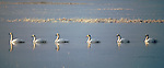 Trumpeter swans in a line swim into the evening light.
