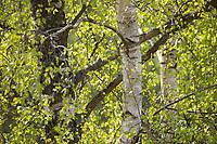 Hänge-Birke, Birke, Sand-Birke, Hängebirke, Sandbirke, Weißbirke, Blatt, Blätter, Birkenblätter, Betula pendula, European White Birch, Silver Birch, warty birch, birch, leaf, leaves, Le bouleau verruqueux, bouleau blanc