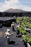 Europe/Espagne/Canaries/Lanzarote/Parc National du Timanfaya : Travail de la vigne à la Geria