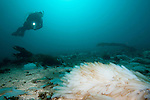 Catalina Island, Channel Islands, California; a scuba diver hovers above thousands of Common Market Squid (Loligo opalescens) egg casings, blanketing the sandy sea floor, creating immense egg beds