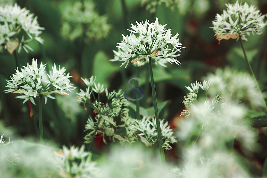 Ramson, wild garlic (Allium Ursinum), Milton Lockhart