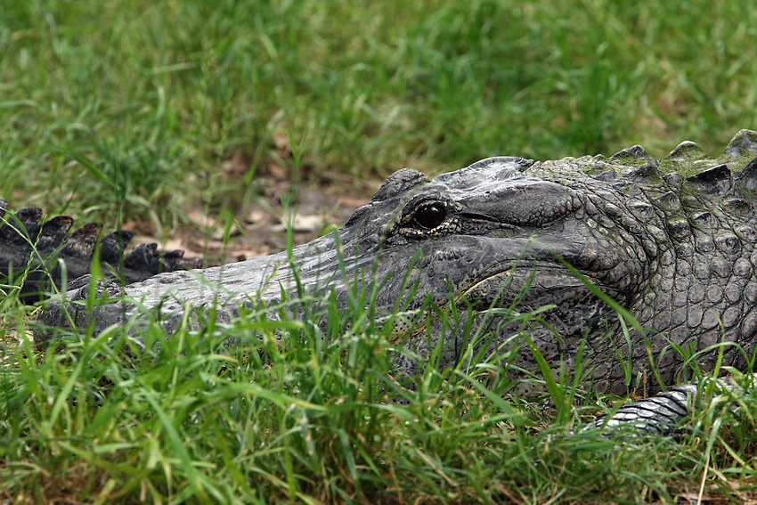 Alligator closeup with the tail of another entering the frame..<br /> The name alligator is an anglicized form of el lagarto the Spanish term for lizard, the name by which early Spanish explorers and settlers in Florida called the alligator.