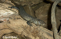 0524-1007  King's Skink, Egernia kingii  © David Kuhn/Dwight Kuhn Photography