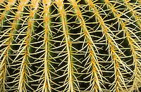 Europe/Espagne/Canaries/Lanzarote/Guatiza : Le jardin de cactus conçu par Cesar Manrique - Echinocatus grusonii