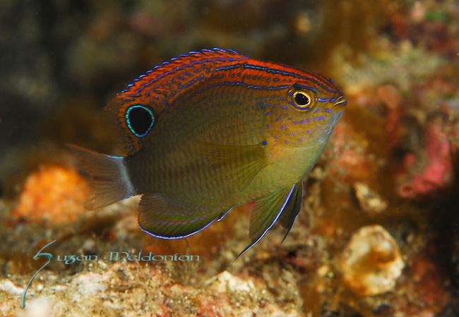 Speckled Damsel, Pomacentrus bankanensis, Lembeh Straits, Sulawesi Sea, Indonesia, Amazing Underwater Photography