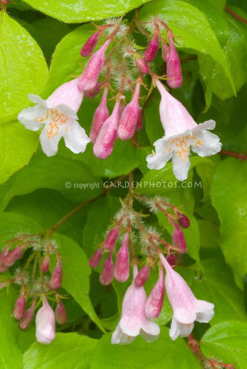 Kolkwitzia Dreamcatcher in pink spring bloom