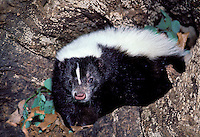 Striped  Skunk, Mephitis mephitis,  close up on hollow log making eye contact