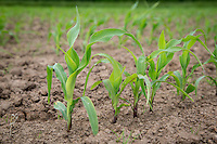Maize grown for anaerobic digestion feedstock - June