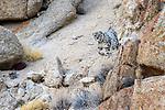 Female snow leopard (Panthera uncia)(sometimes Uncia uncia) beginning to stalk prey through broken rocky terrain. Ladakh Range, Western Himalayas, Ladakh, India.