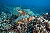 Green sea turtle, Chelonia mydas, an endangered species. Hawaii.