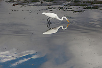 A Great egret meets it reflection feeding along the shoreline at Martin Luther King Jr. Regional Shoreline, Oakland, California.