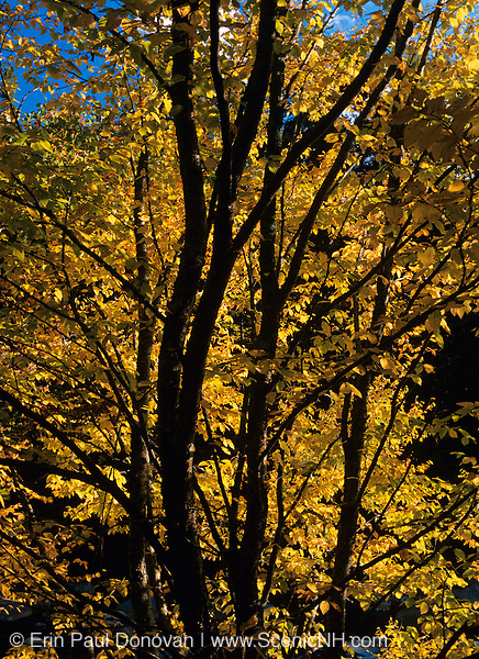 The golden colors of of a hardwood forest during the autumn months in New Hampshire, USA