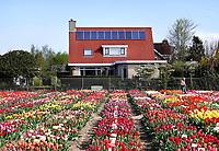 Nederland Limmen 2018. In Noord-Holland ligt de Hortus Bulborum. In de tuin staan meer dan 4000 soorten bloemen. De hortus, waarin voornamelijk tulpen en narcissen staan, is in 1928 opgericht. Huis met zonnepanelen. Foto Berlinda van Dam / Hollandse Hoogte
