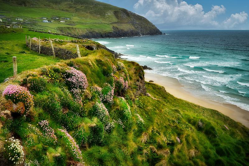 Sea thrift or sea pinks or Sea Ivory,blooming on coast off Slea Head Drive. County Kerry, Ireland