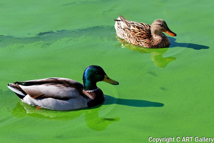 Mallard Ducks swimming in green algae, Irvine, CA
