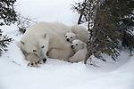 Polar bear and cubs, Canada