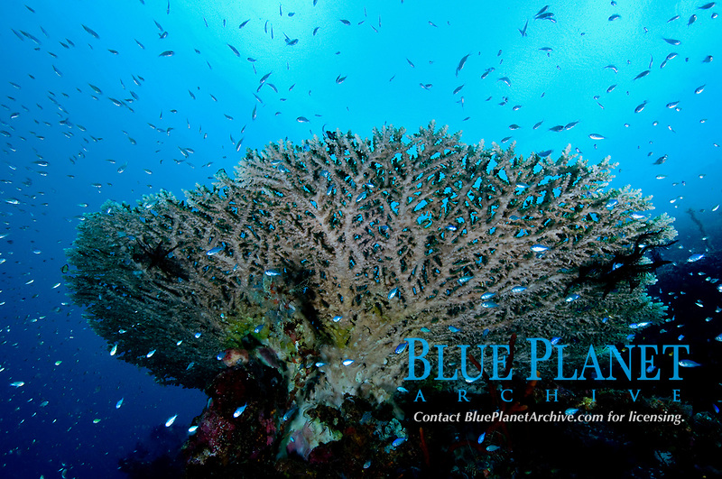 (Multiple values)coral reef Philippines, Acropora coral colonies, hard coral colony