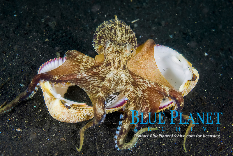 Coconut Octopus, Octopus marginatus, also known as the Veined octopus. Lembeh Strait, North Sulawesi, Indonesia, This octopus often uses shells or coconuts as a den and can walk on two arms while holding the shell with the remaining six.