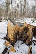 Snapped yellow birch tree along the Dry River Trail in Crawford Notch State Park of the White Mountains, New Hampshire USA during the spring months