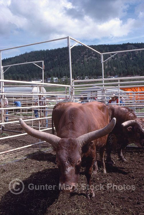 Rodeo Bulls in a Holding Corral at the Williams Lake Stampede, British Columbia, Canada