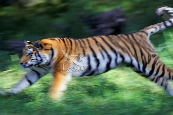 4MR606  Siberian tiger running (panned photo)..(Minnesota Zoo, Apple Valley, MN)