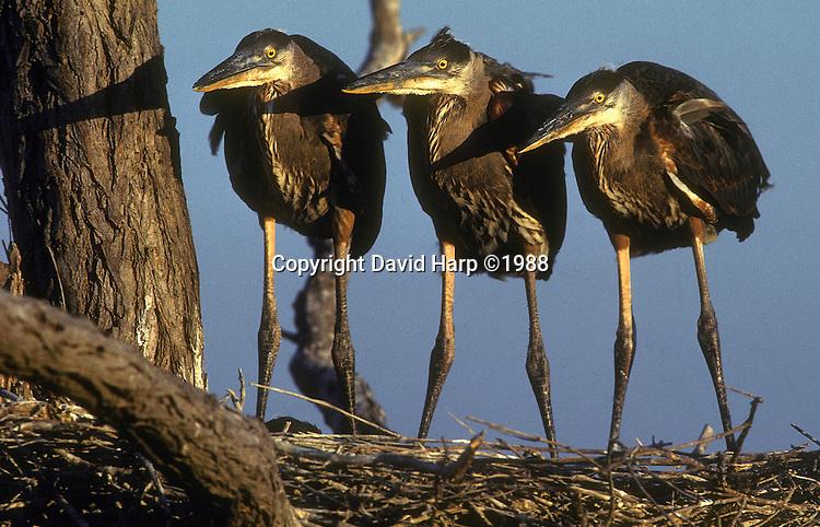 three fledgling great blue herons await breakfast in their nest on Bloodsworth Island, Chesapeake Bay
