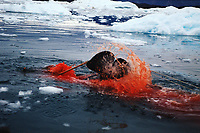 Harpooned Narwhal, Monodon monoceros, Greenlandic Inuit are only allowed to hunt Narwhal with kayaks & harpoons. Greenland, Arctic