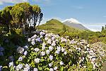 Pico's cone and hydrangeas. Pico  Island..