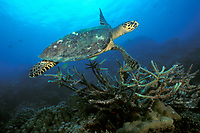 hawksbill sea turtle, Eretmochelys imbricata, over staghorn coral, Surin Islands, Thailand, Andaman Sea (Indian Ocean)