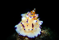 Emperor Shrimp, Periclimenes imperator, riding on an unidentified Nudibranch, Anilao, Philippines, Pacific Ocean