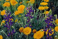 Big Bend bluebonnet and desert marigold<br /> Chisos Mountains<br /> Big Bend National Park<br /> Chihuahuan Desert,  Texas