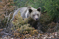 Grizzly Bear standing in the brush - CA