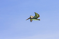 America,Mexico,Baja California,Complejo insular Espiritu Santo,flying pelikan