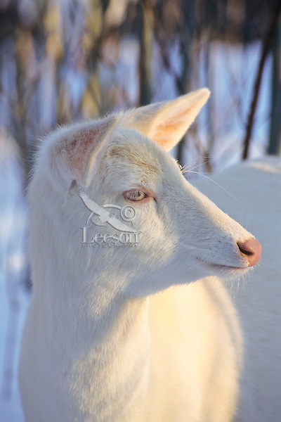 Albino white-tailed deer (Odocoileus virginianus) doe