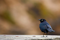 A Brewer's blackbid stands on a picnic table eyeing the photographer, ready to escape, if necessary.  Bean Hollow State Beach, California.