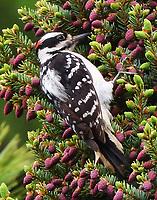 Male hairy woodpecker eating pine tree seeds