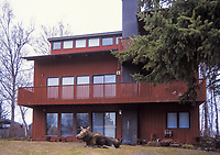 moose, Alces alces, cow resting in front on an urban home in Anchorage,, Alaska, USA
