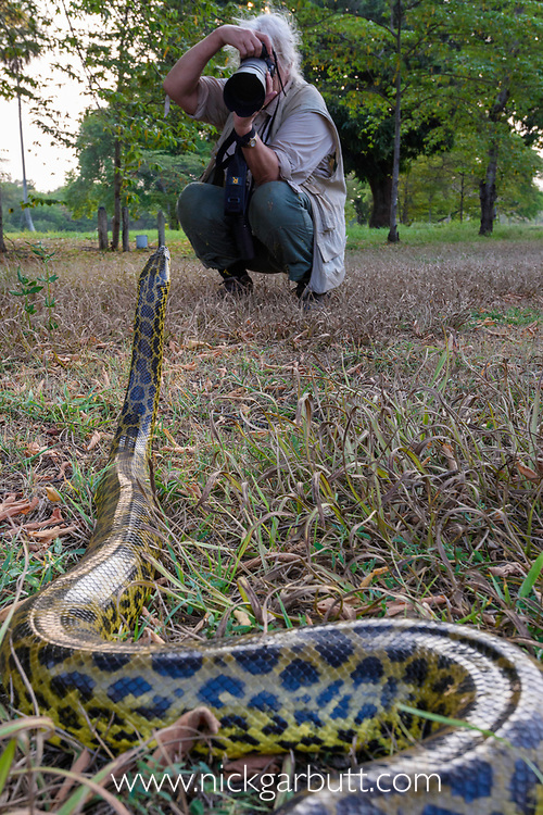 Tourist / photographer photographing a Yellow Anaconda (Eunectes notaeus). Caiman Ecological Refuge, Southern Pantanal, Moto Grosso do Sul State, Brazil. September.