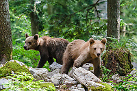Eurasian brown bear (Ursus arctos arctos), cubs, in the forest of Notranjska or Inner Carniola, Slovenia, Europe