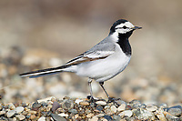 The White Wagtail (Motacilla alba) was one of the first migratoy passerines to arrive in the area of Meinypilgyno. Chukotka, Rusia. May.