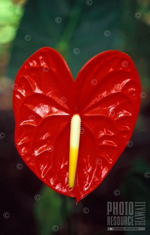 A large, beautiful red heart-shaped anthurium floats against a background of muted green foliage.