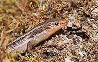 Skilton's skink (Western skink), Eumeces skiltonianus skiltonianus, Mendocino County, California.