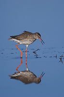 Common Redshank, Tringa totanus, adult calling,National Park Lake Neusiedl, Burgenland, Austria, April 2007