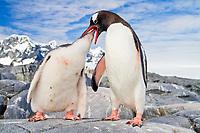 gentoo penguin, Pygoscelis papua, adult, feeding chick, Antarctic Peninsula, Antarctica, Southern Ocean