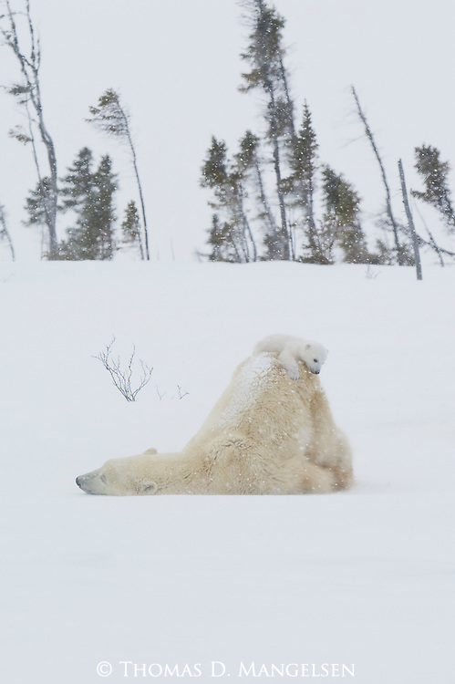 Climbing onto his mother's back while she rests, this three-month-old cub finds himself atop a mountain of white, snow-covered fur as his mother rouses from her slumber in Manitoba, Canada.