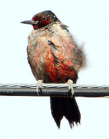 Lewis's woodpecker perched on cable after an insect chase