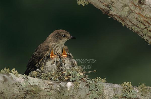 Vermillion Flycatcher, Pyrocephalus rubinus,female with young in nest, Lake Corpus Christi, Texas, USA