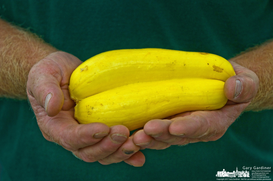 Farmer with dirt worn into the creases in his hands holds a double yellow squash raised on his farm and for sale at a local farmers market.