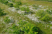 Streuobstwiese, mit Blumenwiese, Margariten, Streu-Obstwiese, Obstwiese, Obstplantage, Obstanbau, Obstgarten, orchard